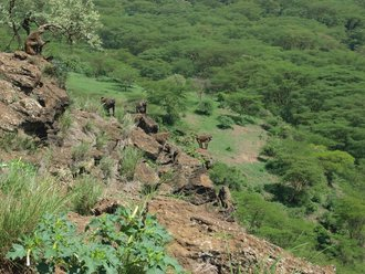 Lake Nakuru: Baboons