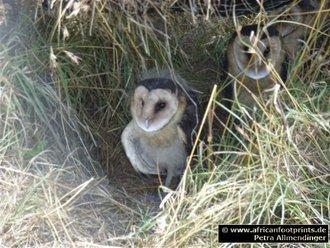 Vogelbeobachtung: Graseule