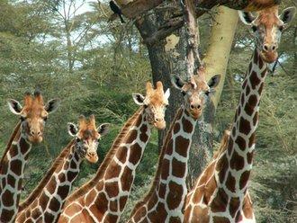 Sweetwaters: Giraffen
