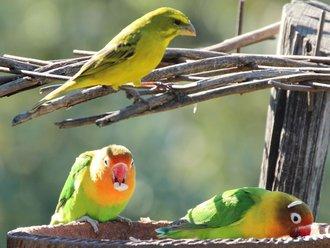 Vogelbeobachtung: Love Birds
