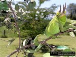 Sandai: Jackson-Chameleon