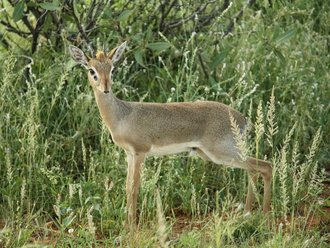 Dik Dik in Samburu
