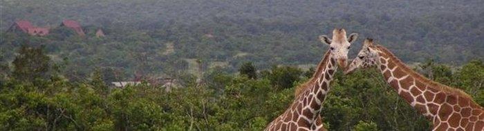 Aberdare Country Club: Giraffen mit Sandai im Hintergrund