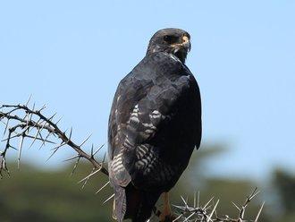 Vogelbeobachtung: Augurbussard