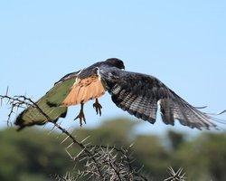 Sandai Bird