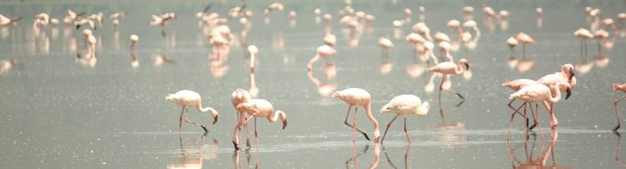 Lake Nakuru: Flamingos