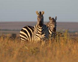 Zebras bei einer Safari auf Solio
