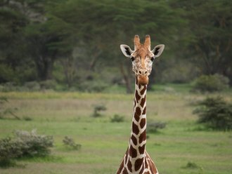 Safari Solio Ranch: Giraffe