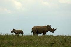 Rhinos seen on Safari on the Solio Ranch
