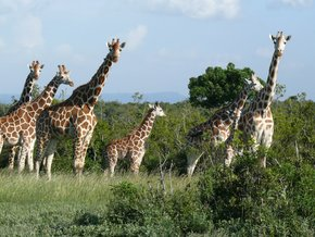 Aberdare-Country-Club: Giraffes