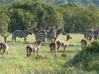 Aberdare-Country-Club: Zebras und Antilopen