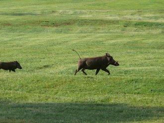 Aberdare-Country-Club: Warzenschwein mit Jungem