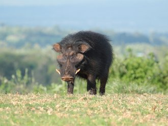 Aberdares Safari: Giant Hog
