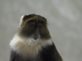 Aberdares Safari: Sykes Monkey