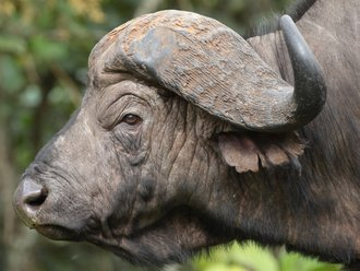 Aberdares Safari: Waterbuffalo