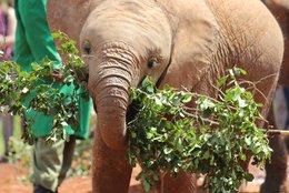Junger Elefant im Daphne Sheldrick Waisenhaus, Nairobi