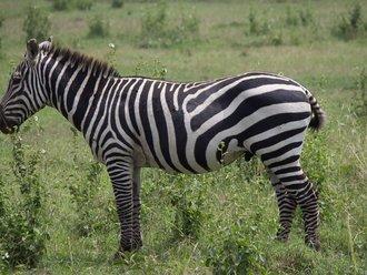 Safari Solio: Zebra