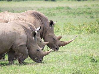 Safari Solio: Breitmaulnashörner
