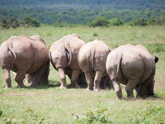 Safari Solio: Breitmaulnashörner Hintern