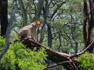 Safari Solio: Junge Löwin