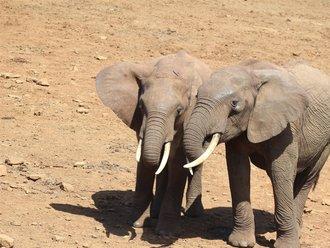 Aberdares Safari: Waldelefanten