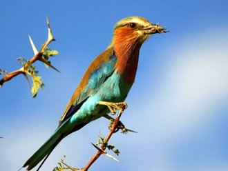 Vogelbeobachtung: Lilac Breasted Roller