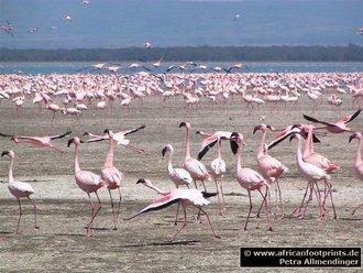 Nakuru Safari: Flamingos