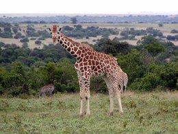 Giraffe auf dem Spaziergang im Aberdare-Country-Club
