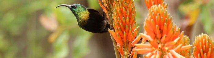 Bird Watching: Sunbirds