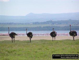 Nakuru Safari: Strauße
