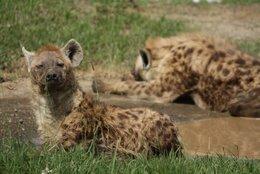 Lake Nakuru: Hyänen