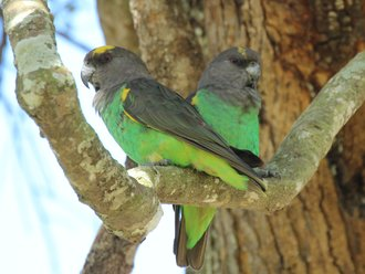 Vogelbeobachtung: Braunköpfige Papageien