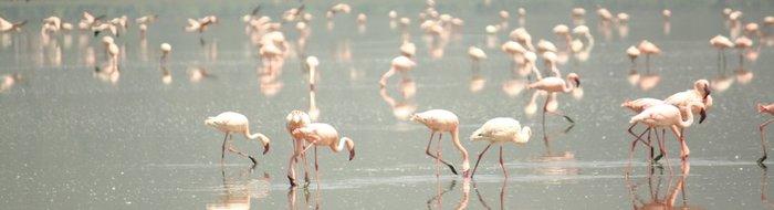 Lake Nakuru: Flamingos