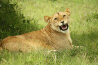 Safaris in Kenia