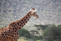 Giraffes at Samburu National Park