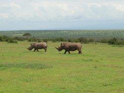 Nashörner auf der Solio Ranch