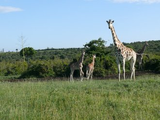 Aberdare-Country-Club: Giraffe mit Nachwunchs