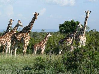 Aberdare-Country-Club: Giraffen