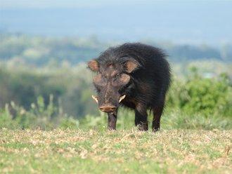 Aberdares Safari: Giant Hog