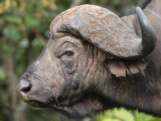 Aberdares Safari: Wasserbüffel