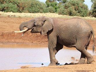 Aberdares Safari: Waldelefant